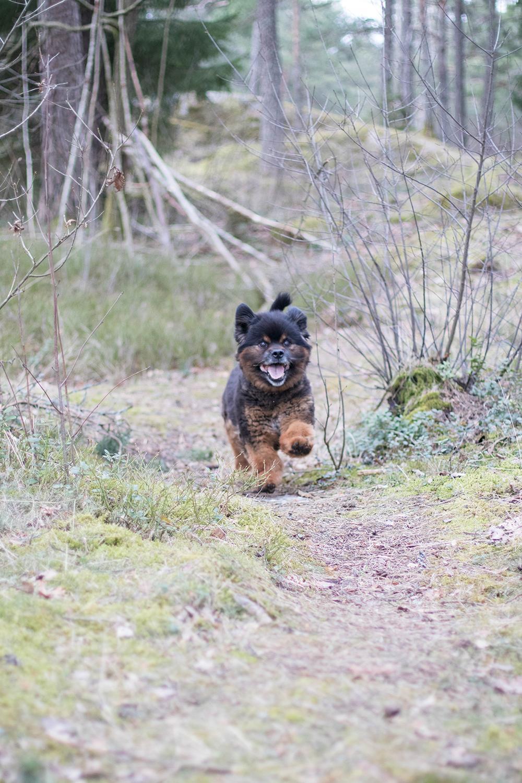 Bonzo ute och busar i skogen hundfotograf trollhättan