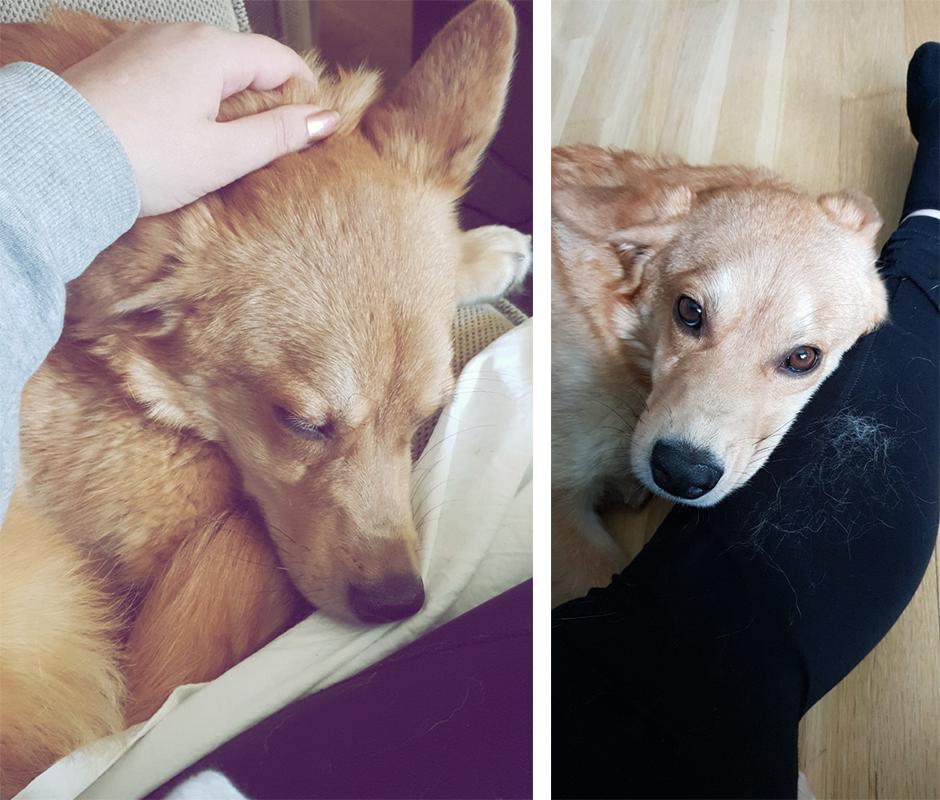 Vår älskade Foxie