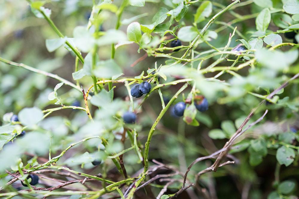Bästa starten på veckan plocka blåbär i skogen