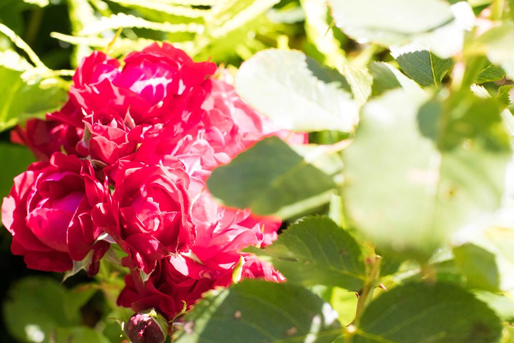 rosor i solen