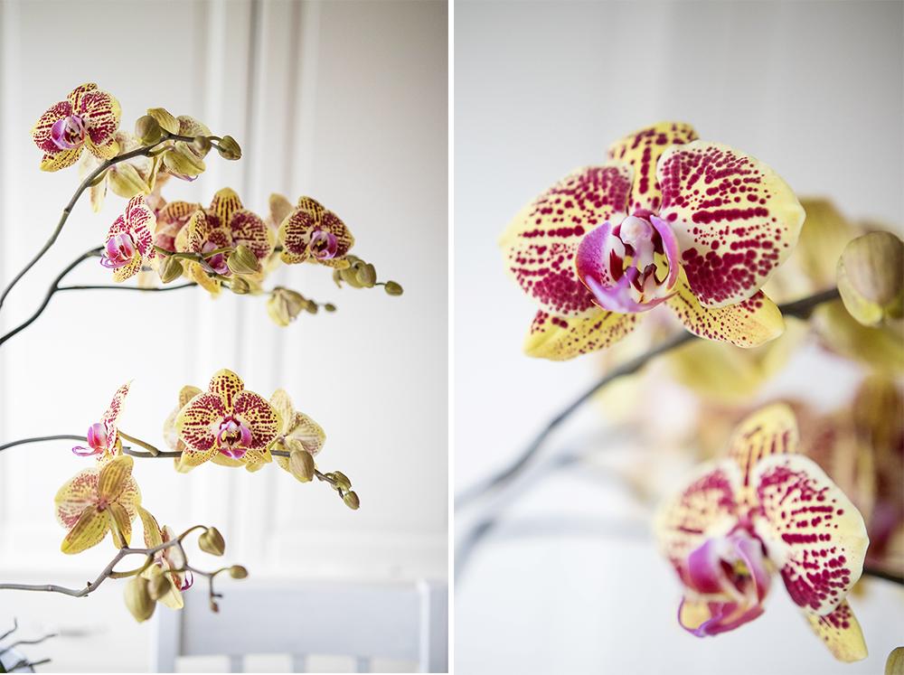 Min orkide blommar. Totalt 45 nya blommor.