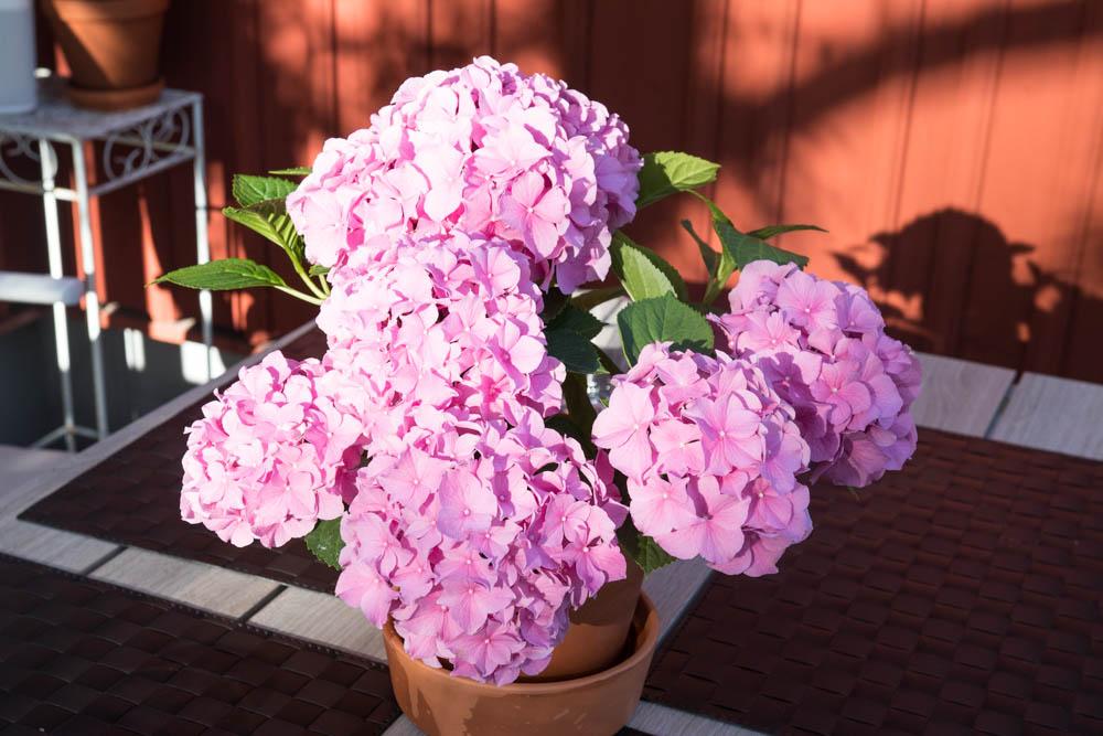 rosa hotensia i rosendal