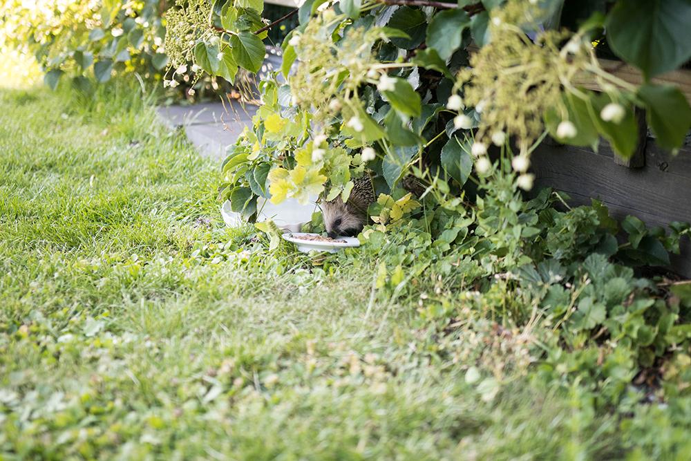 Tänk på att ge igelkottar och andra djur vatten nu när det är så varmt.