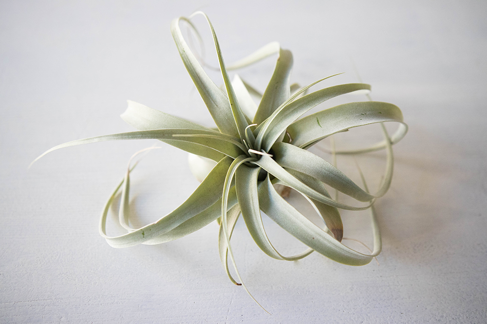 Tillandsia Xerographica air plant