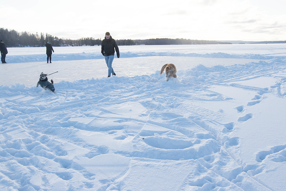 hundarna busar ute på isen