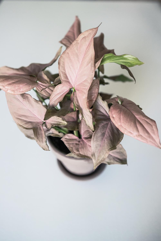 Sjukaste växtpaketet | Mina senaste växter. Syngonium Regina Red.