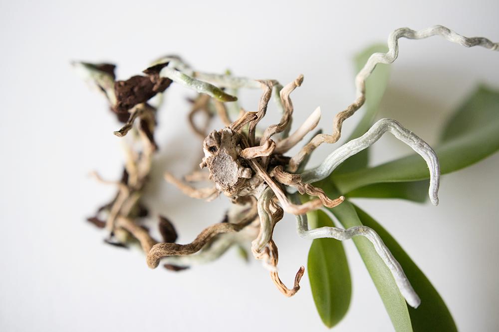 Så får du din Orkidé att växa nya rötter