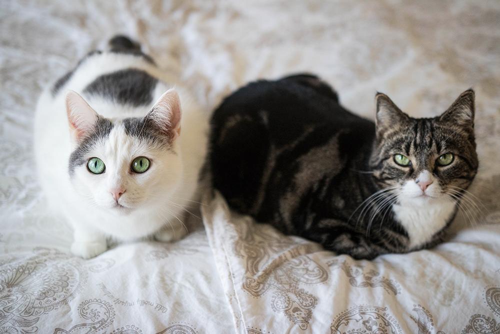 inomhus katter