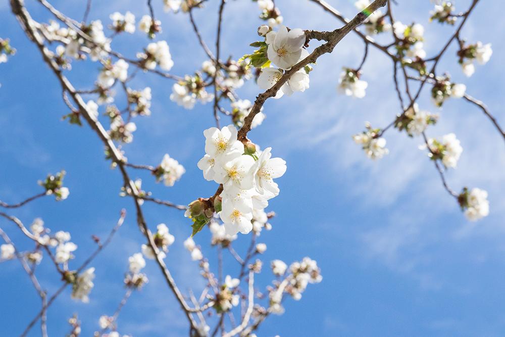 körsbärsträden blommar