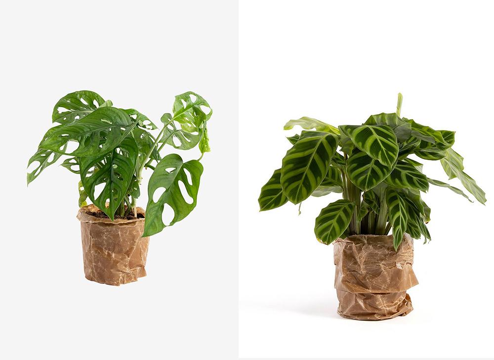 nu kan du köpa krukväxter hos Ellos. monstera adansonii och Calathea Zebrina